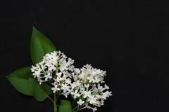 Lilás branco com cinco pétalas Foto de Stock Royalty Free