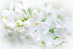 Lilás branco, flor feliz Fotografia de Stock Royalty Free