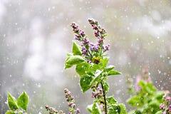 Lilás com neve de queda Fotografia de Stock Royalty Free