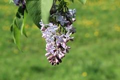 Lilás, como um símbolo de um desejo nobre para o conhecimento fotos de stock