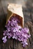 Lilás comum fotografia de stock