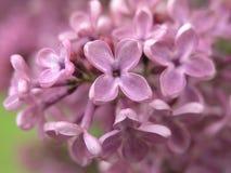 Lilás cor-de-rosa Imagens de Stock