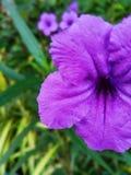 Lilás da flor imagem de stock royalty free
