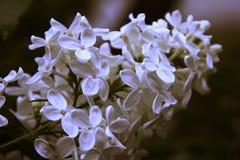 Lilás da flor branca Foto de Stock Royalty Free
