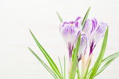 Lilás da mola e açafrão roxo em um vaso de flores folhas do verde Cartão da mola Foto de Stock Royalty Free