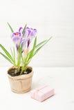 Lilás da mola e açafrão roxo em um vaso de flores folhas do verde Cartão da mola Imagem de Stock