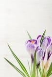 Lilás da mola e açafrão roxo em um vaso de flores folhas do verde Cartão da mola Fotos de Stock Royalty Free