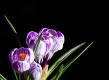 Lilás da mola e açafrão roxo em um vaso de flores folhas do verde Cartão da mola Foto de Stock