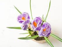 Lilás da mola e açafrão roxo em um vaso de flores folhas do verde Cartão da mola Imagens de Stock