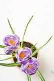 Lilás da mola e açafrão roxo em um vaso de flores folhas do verde Cartão da mola Fotografia de Stock