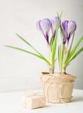 Lilás da mola e açafrão roxo em um vaso de flores folhas do verde Cartão da mola Imagem de Stock Royalty Free