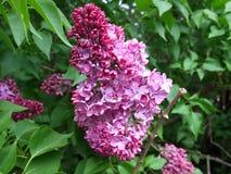 Lilás de florescência Fotos de Stock Royalty Free