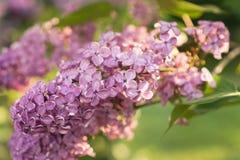 Lilás de florescência em um parque Fotografia de Stock Royalty Free