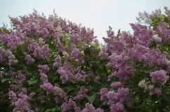 Lilás de florescência no parque Fotos de Stock