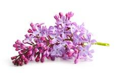 Lilás do roxo do galho da flor da mola Imagem de Stock Royalty Free