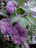 Lilás do verão após a chuva Fotografia de Stock