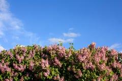 Lilás e o céu Fotos de Stock Royalty Free