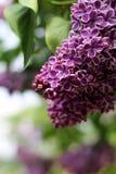 Lilás em um jardim Foto de Stock Royalty Free
