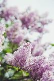 Lilás, mola, luz, morna, flores, flor, mágica, verão, parque, árvore Imagem de Stock