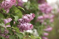 Lilás na flor Imagem de Stock