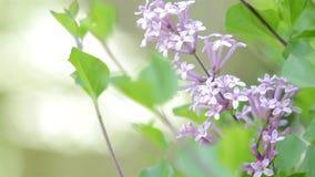 Lilás na flor video estoque