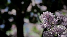 Lilás na flor vídeos de arquivo