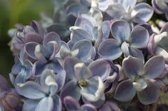 Lilás na flor Fotografia de Stock Royalty Free