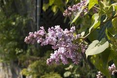 Lilás na flor Imagens de Stock Royalty Free