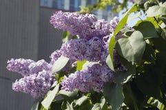 Lilás na flor Foto de Stock