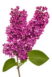 Lilás roxo do galho, Syringa vulgar, isolado no backgroun branco foto de stock royalty free