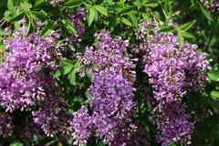 Lilás roxo no jardim fotografia de stock royalty free