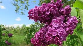 Lilás roxos contra as folhas verdes e o céu azul fotos de stock