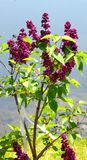 Lilás roxos que florescem contra um céu azul imagens de stock royalty free