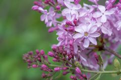 Lilás violeta no fundo verde agradável, fundo da mola Imagem de Stock Royalty Free