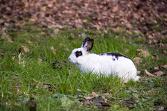 Lil' Bunny Foo Foo. Rabbit caught mid snif looking for his next carrot Royalty Free Stock Images