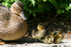 Lil' DUcks. Mother duck with baby ducklings Stock Photo