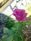 Lil pink rose Stock Photo