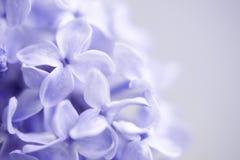 lila Royaltyfria Foton
