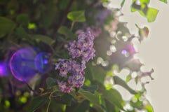 lila Royaltyfri Foto
