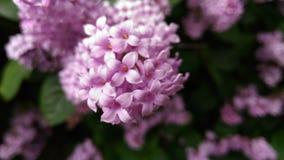 lila royaltyfri fotografi