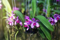 Lila Aerides-Orchideenblumen Stockbild
