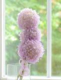 Lila allium blommar mot fönstret Fotografering för Bildbyråer
