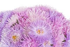 Lila Asterblumen in der Blüte Lizenzfreies Stockfoto
