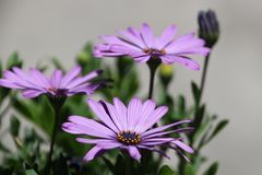lila asters Royaltyfria Foton