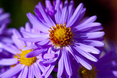 Lila astra. The purple astra flower in detail Stock Image