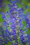 Lila-blått blommafält Arkivbild