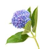 Lila-blått vanlig hortensia som isoleras på vit Royaltyfria Foton