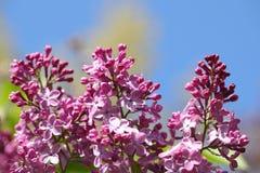 Lila Blüte Stockbild