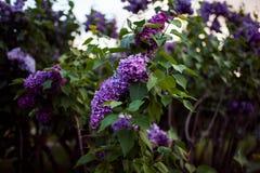 Lila Blüte Ein schönes Bündel der lila Nahaufnahme Fliederblühen Fliederbusch-Blüte Lila Blumen im Garten Stockfotografie