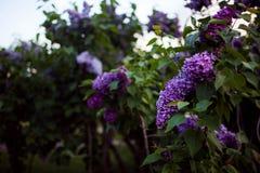 Lila Blüte Ein schönes Bündel der lila Nahaufnahme Fliederblühen Fliederbusch-Blüte Lila Blumen im Garten Stockfotos